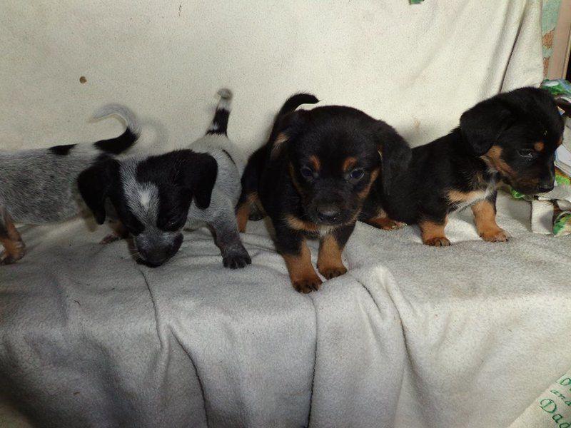 Beaglebasset hound mix puppies baby male medium