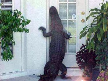 "Gator:  Knock, knock  Hooman:  NO, YOU CAN'T COME IN!!!!  Gator:  No, u say ""Who's there?"""