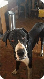 Reno Nv Great Dane Meet Bogie A Dog For Adoption Http Www Adoptapet Com Pet 16714377 Reno Nevada Great Dane Great Dane Dog Adoption Pet Adoption