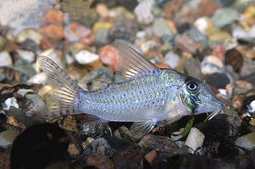 Corydoras Sychri Freshwater Aquarium Fish Cichlid Fish Aquarium Fish