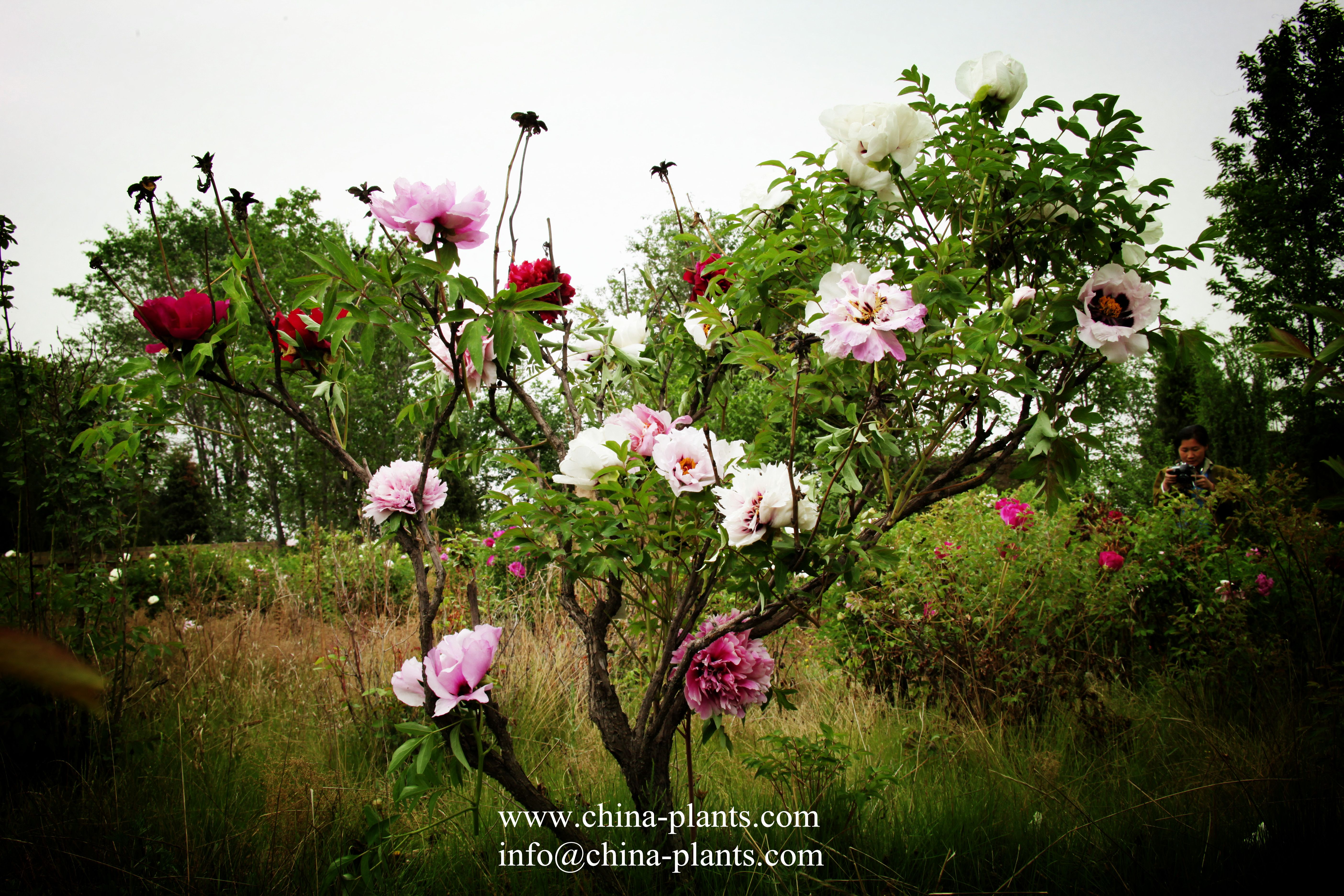 Cultivated by experts of Gansu Zhongchuan Peony Nursery, assorted paeonia rockii will bloom in may, 2015 again. The main character of Assorted peonies is 1 plant with multicolor. Particularly, 1 plant can get over 8 different flowers with different colors and cultivars. We have to say assorted peonies is a miracle in Gansu Zhongchuan Peony Nursery.