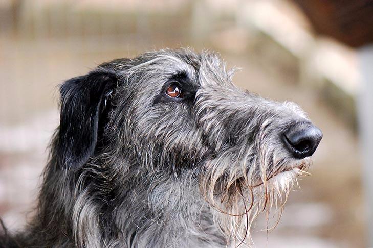 Scottish Deerhound Dog Breed Information In 2020 Scottish