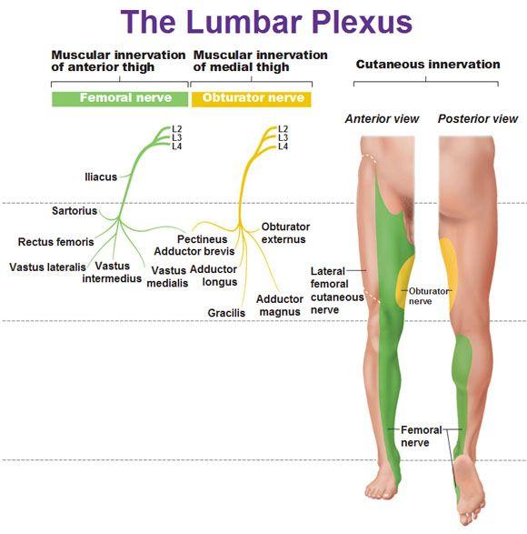 lumbar plexus muscular innervation and cutaneous innervation, Muscles