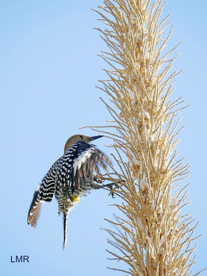 This Gila woodpecker looked like it was dancing around this plant. — at Arizona-Sonora Desert Museum.