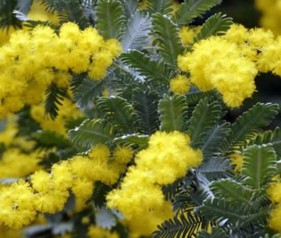 Promoting Teamsp Drought Tolerant Plants Mimosa Tree Planting Flowers