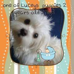 Pin By Pups4sale Com Au On Maltese Puppies Puppies For Sale Dog