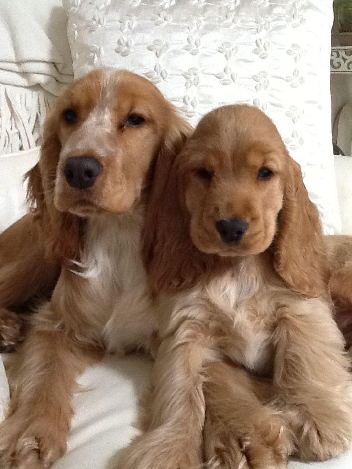 My English Cocker Spaniel Girls Maggie And Rosie Spaniel Breeds Cocker Spaniel Dog Dogs