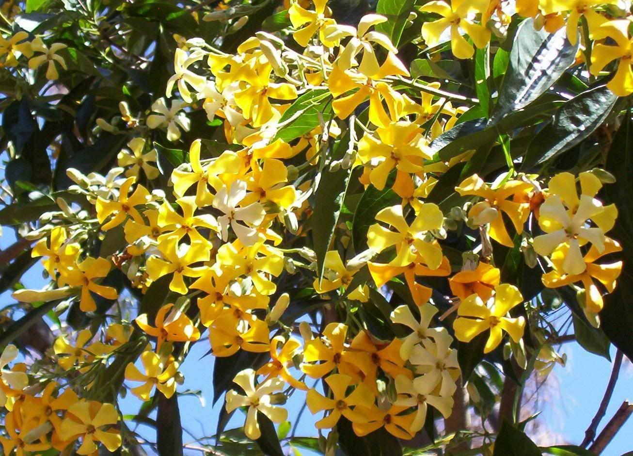 Vild Frangipani – Hymenosporum flavum