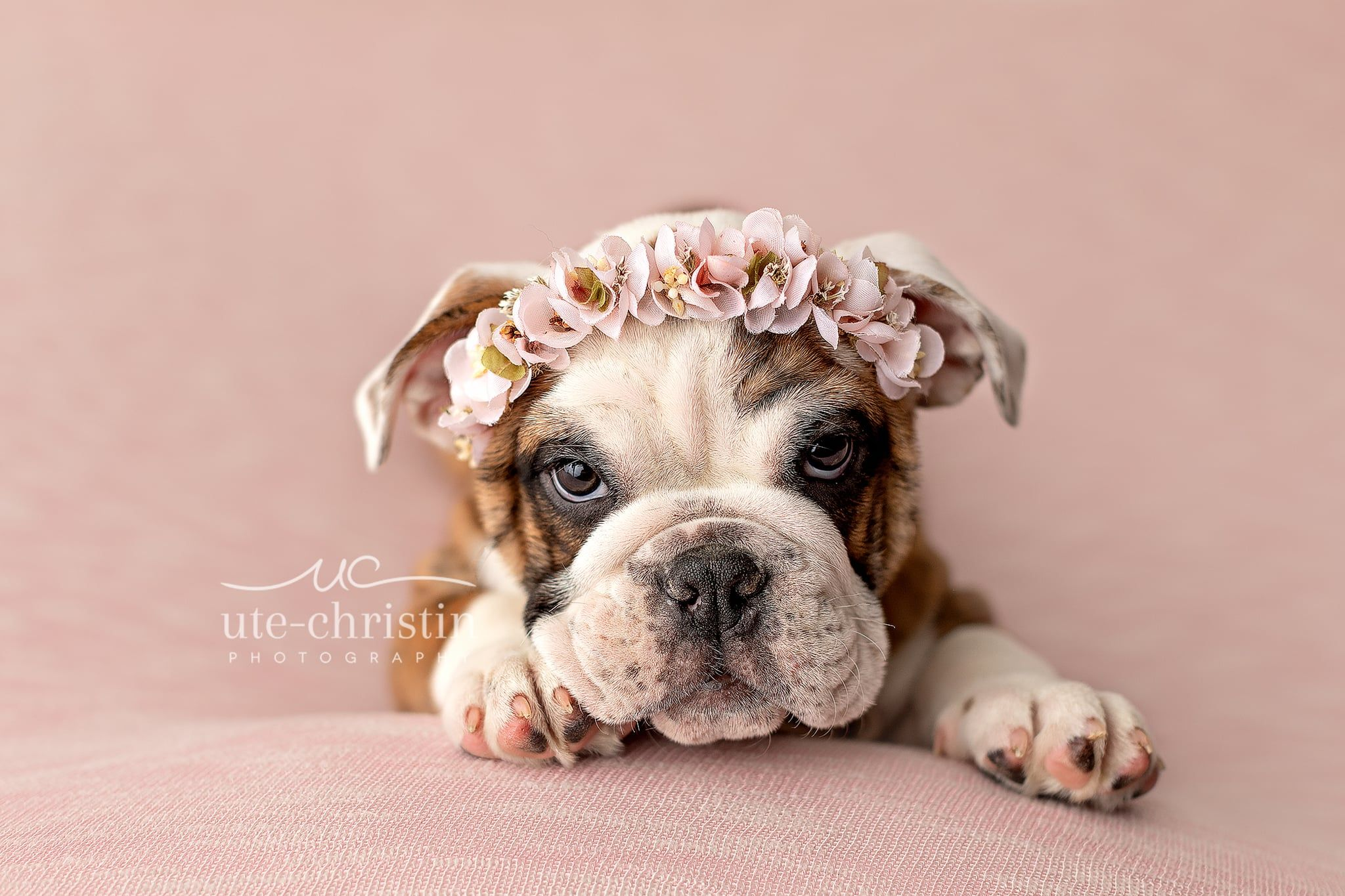 A Photographer Staged A Newborn Shoot For An English Bulldog Puppy And The Results Will Give You Heart Eyes In 2020 Bulldog Puppies English Bulldog Puppies English Bulldog Puppy