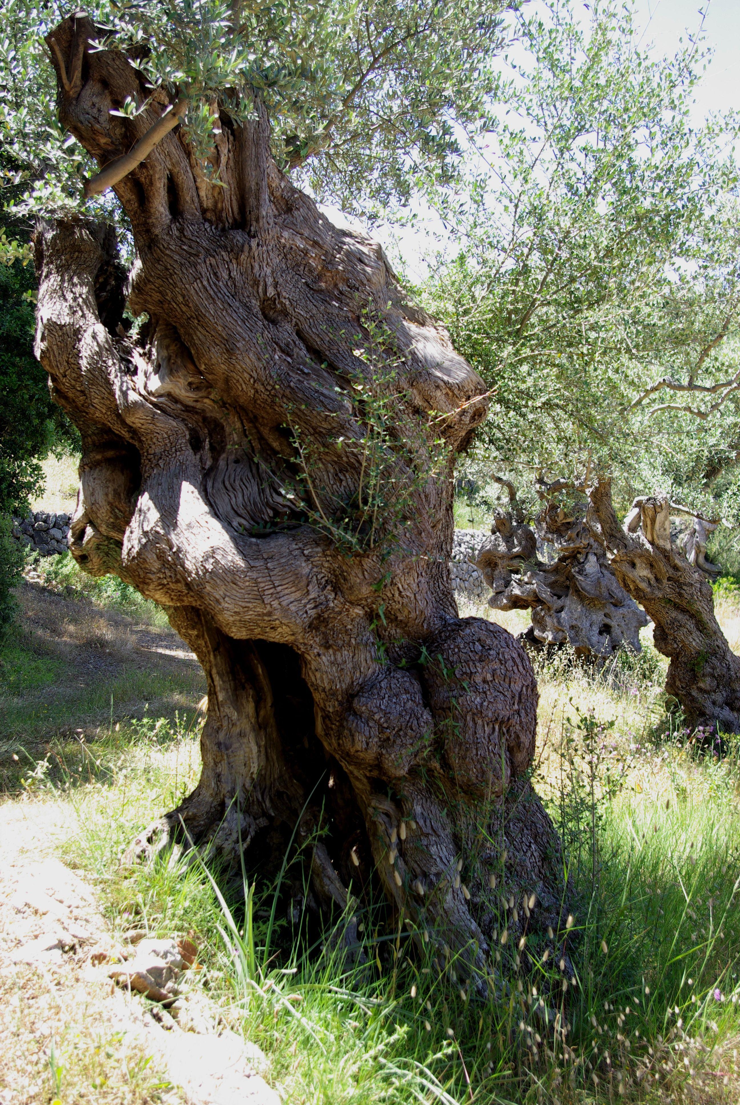 Ancient olive trees near Port de Soller, Mallorca