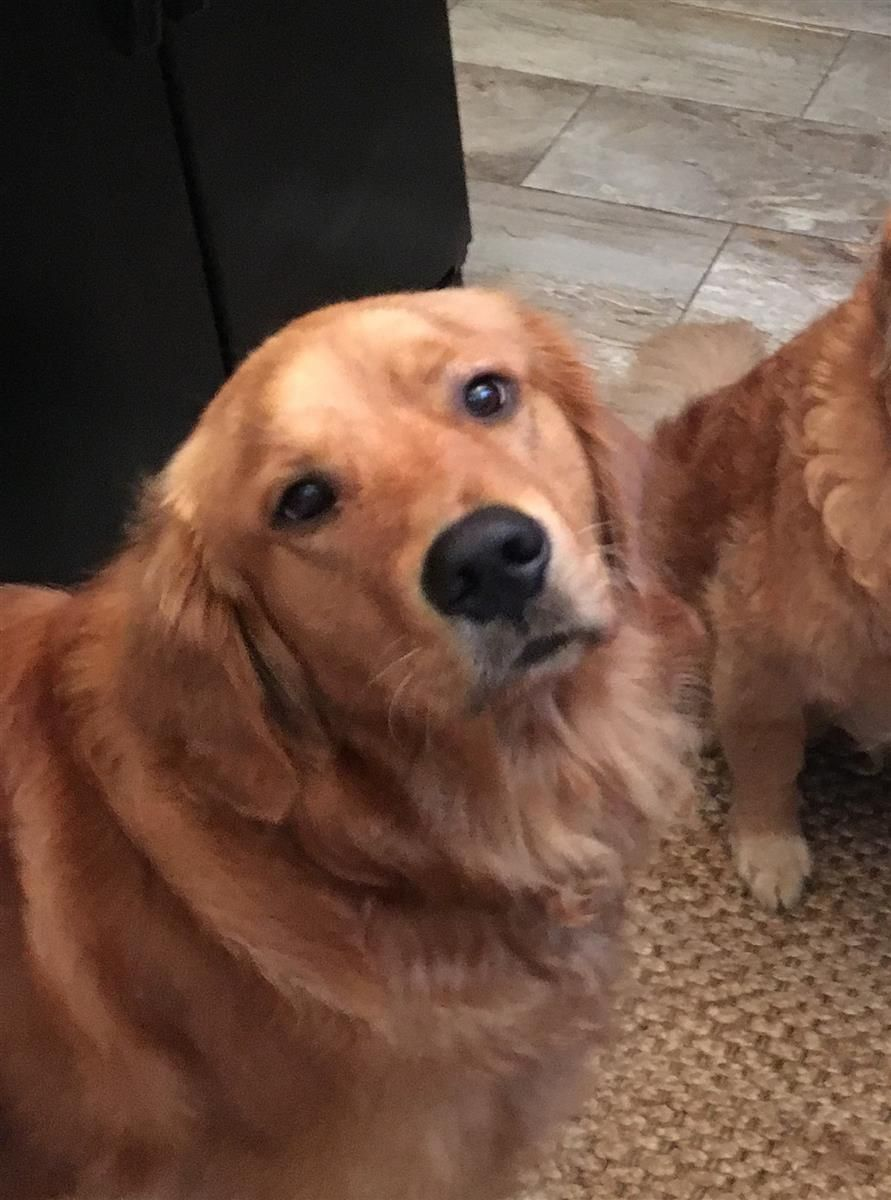 Helping Lost Pets Dog Golden Retriever Back Home Dogs