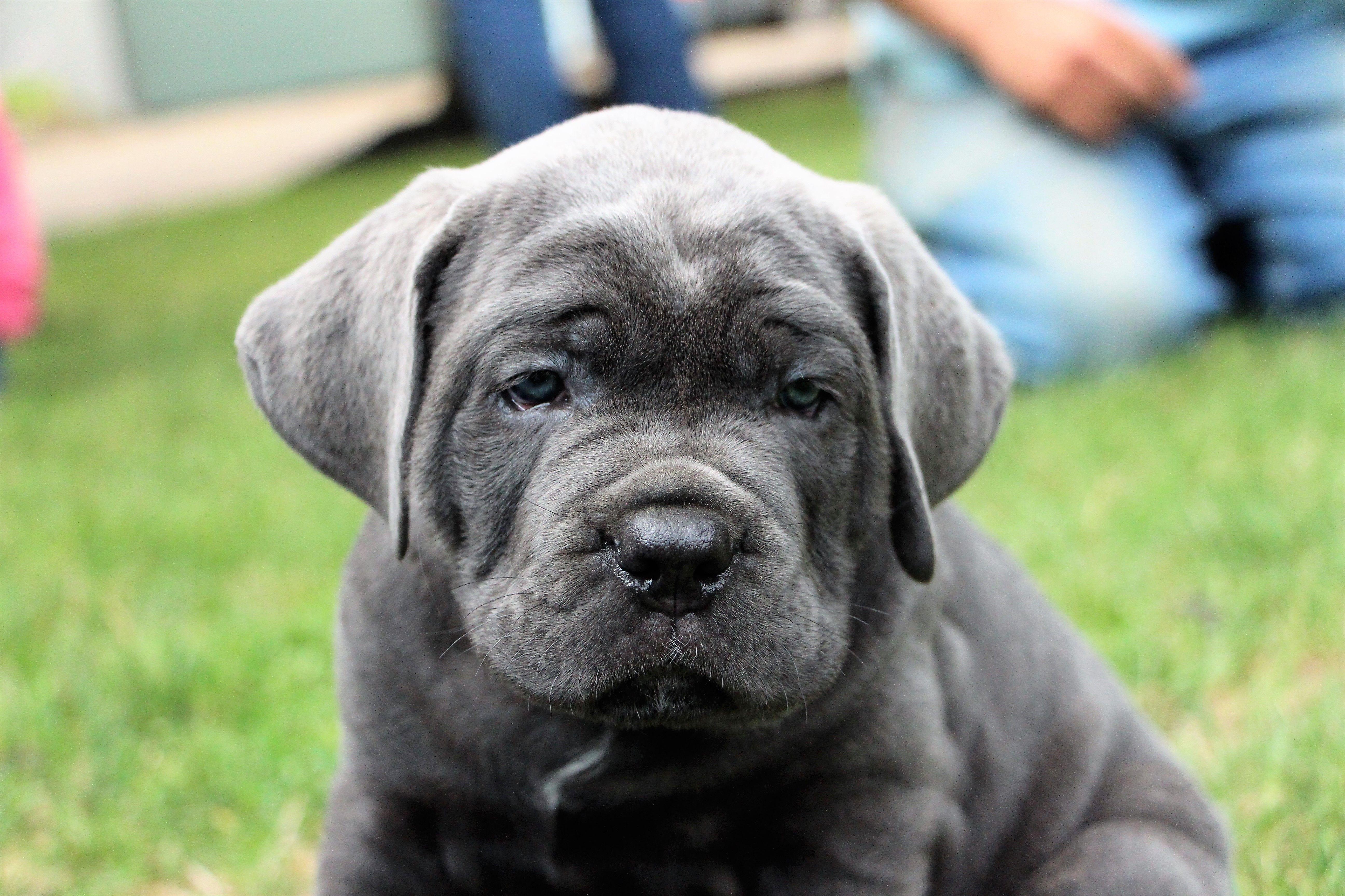 Black Pearl Blue Cane Corso Puppy Cane Corso Puppies Blue Cane