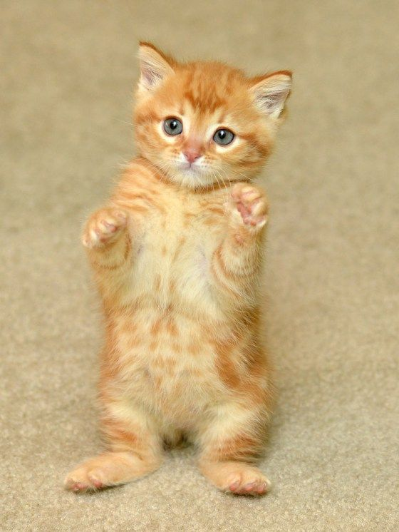 Ginger Family Gets A Second Chance At Life Orange Tabby Kitten