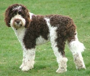 Image Detail For Labradoodle Dog Breeders In Oregon Labradoodle Angels Dog Breeders Labradoodle Dogs Dog Breeder Labradoodle