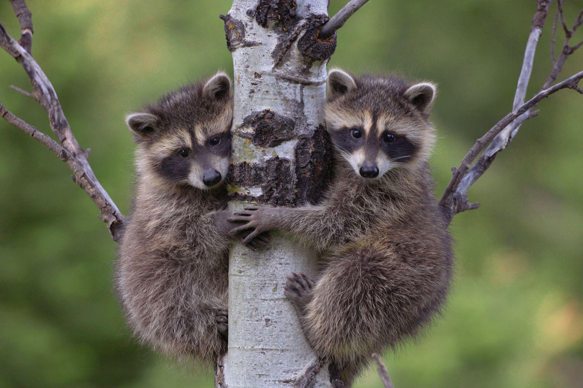 еноты - Поиск в Google | Морды животных, Смешные животные ...