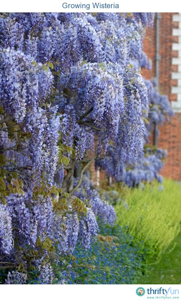 This is a guide about growing wisteria. Wisteria with its beautiful, fragrant purple or white clusters of flowers can add a special beauty to your garden.