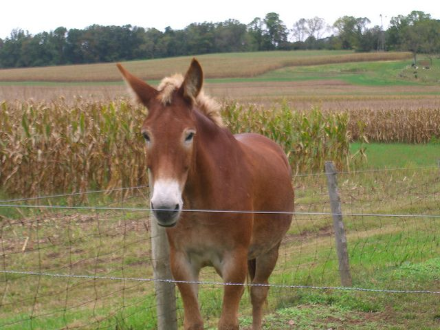 Friendly Mule. Courtesy: Cleo McCall, New Jersey (USA).
