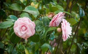 camellia-flowers-how-to-grow-camellia-rose-pink-double