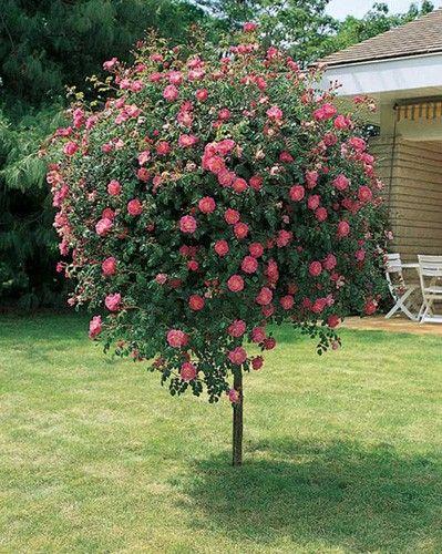 Les 25 meilleures id es de la cat gorie rosier pleureur for Arbuste de jardin