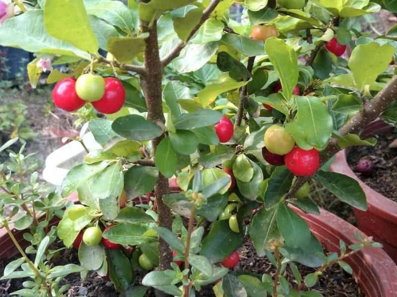 Barbados Cherry Trees Grow Very Well In Containers As Long As You Give Them A Large Enough Pot For Good Root Development Fruit Plants Fruit Garden Potted Trees