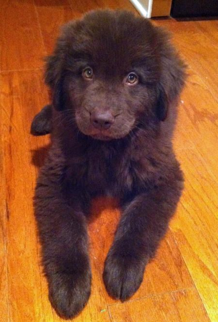 Bella Bear The Newfoundland Oh What A Big Gorgeous Girl She Is
