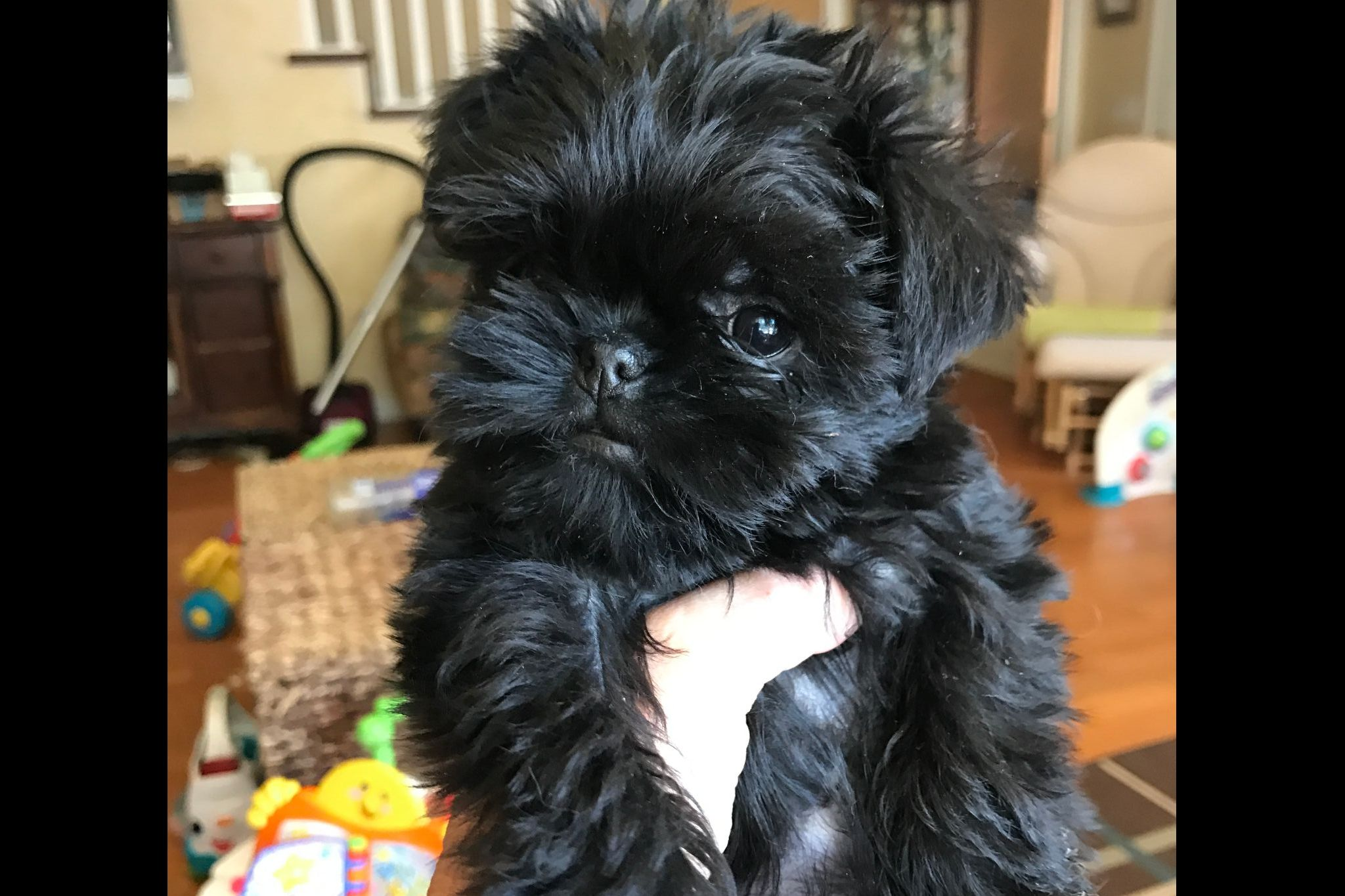 Vickie Ehrlekrona Crisanda Affenpinschers Papillons Has Affenpinscher Puppies For Sale In Billings Mt On Affenpinscher Puppy Puppies For Sale Affenpinscher