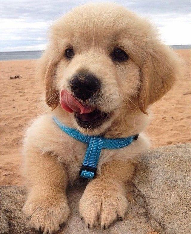 Golden Retriever Puppies For Sale In Japan