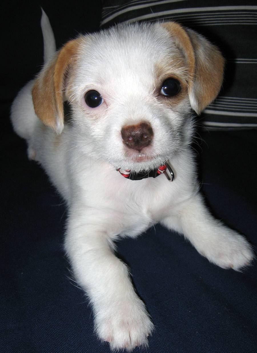 Pics photos dachshund chihuahua dog mix dogs pictures photos pics - Full Grown Beagle Dachshund Mix Zoey The Dachshund X Chihuahua Pictures 6706 Chihuahua Mix Puppiesdachshund