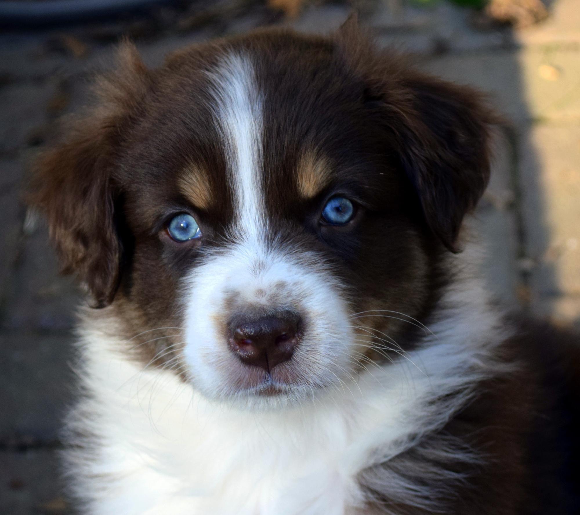 Australian shepherd puppies for salehighland park aussies