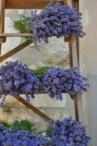 Harvest time for lavender's flower heads....heavy and aromatic.