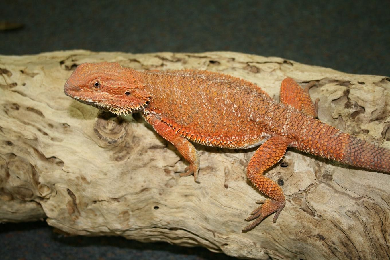 Central Bearded Dragons And Baby Bearded Dragons Baby Bearded Dragon Bearded Dragon Small Lizards