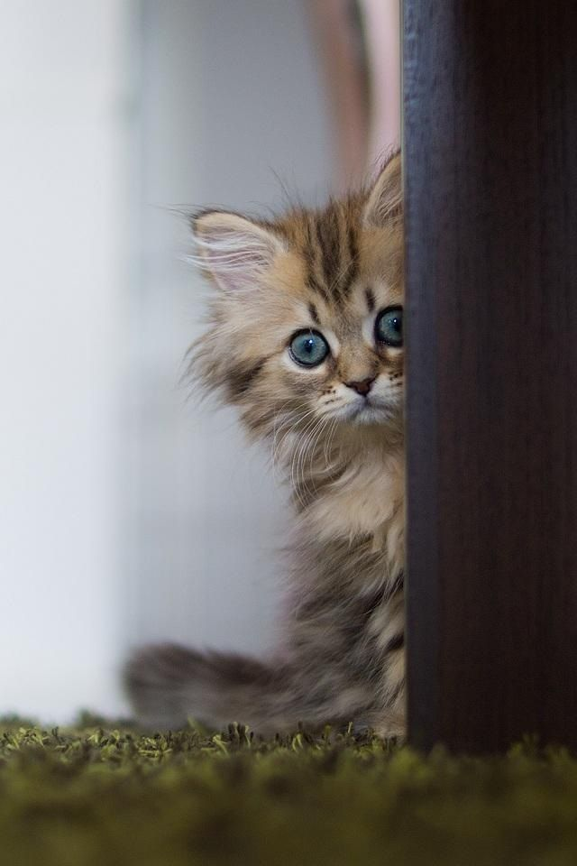 blue eyed kitten peering from a door