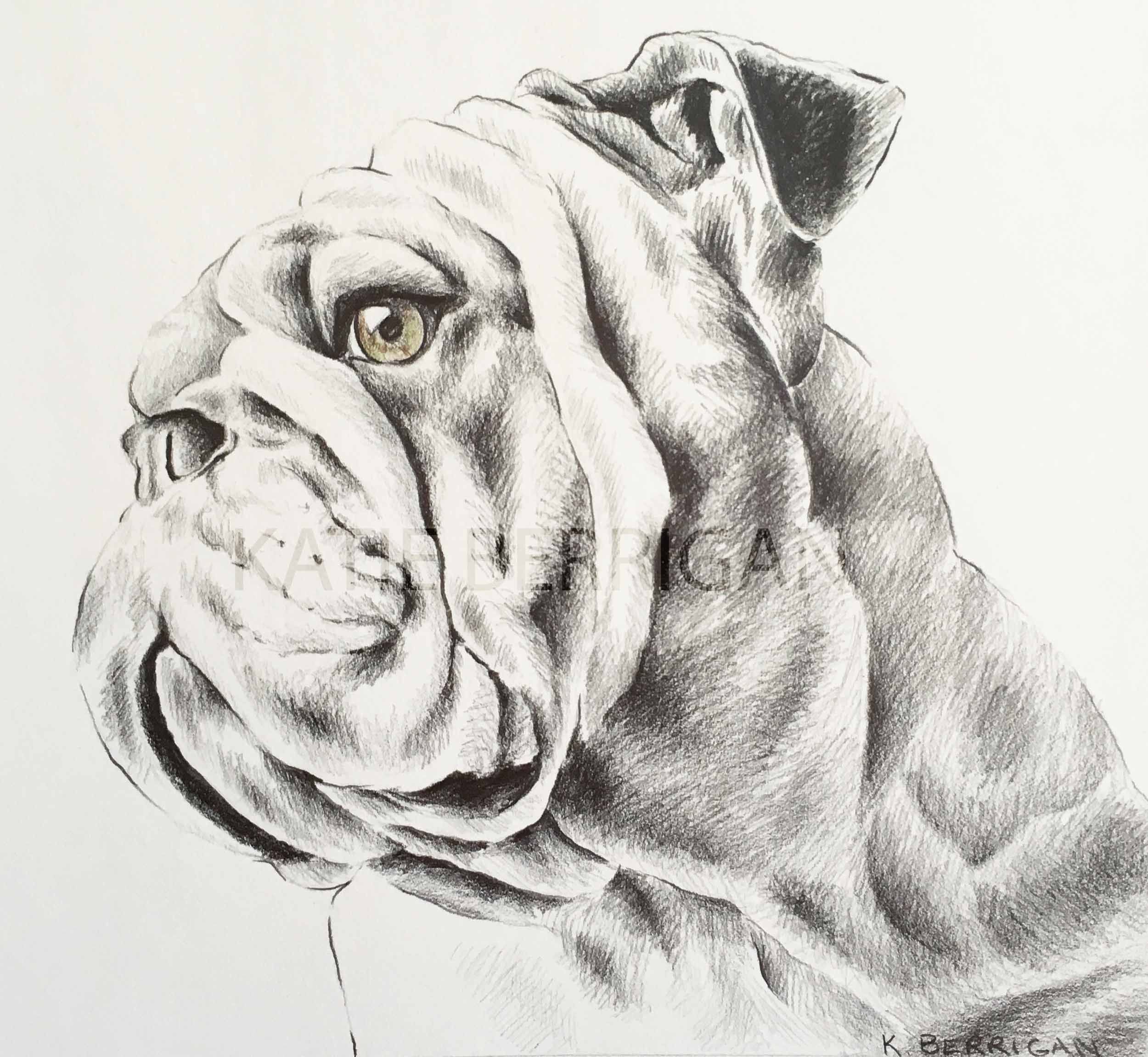 Bulldog Pencil Drawing Pet Drawing Uga Georgia Bulldog