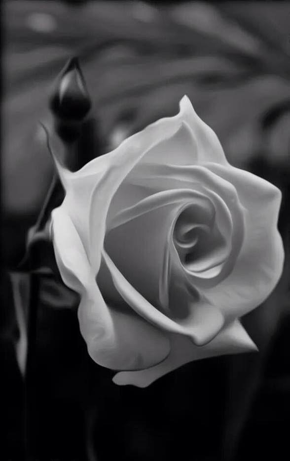 Rosa En Blanco Y Negro Flowers Pinterest Flowers Beautiful