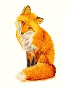 Red Fox Drawing Google Search Red Fox Fox Drawing Red Fox
