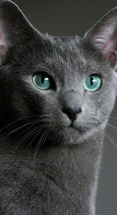 Pin By Cat Lovers Only Com On ϟ House Aesthetic Blue Cats Cat Personalities Russian Blue