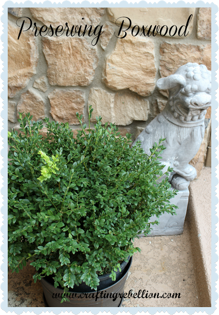 Crafting Rebellion: Preserving Boxwood