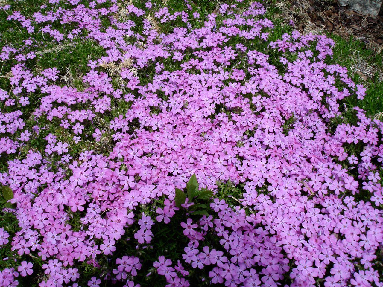 Nothing Beats Colorful Creeping Phlox As A Perennial Spring Ground