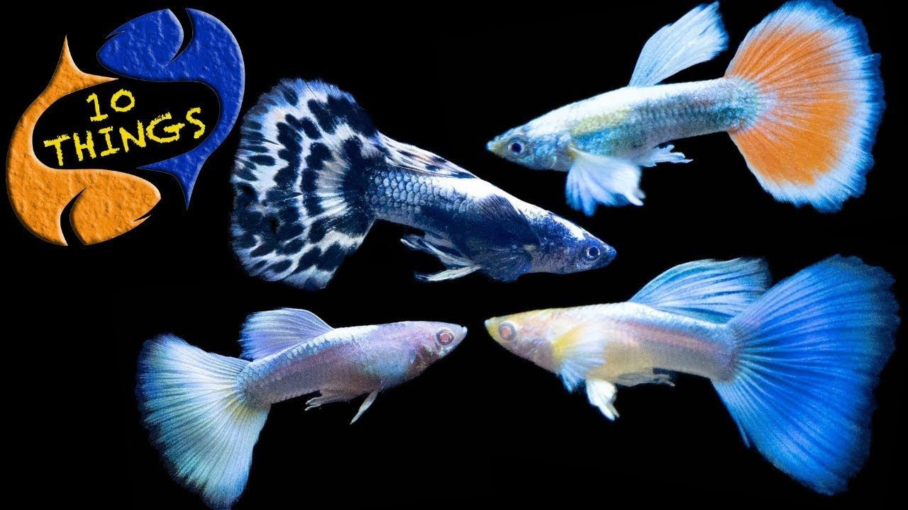 Guppy Fish Care 10 Things You Should Know About Guppies Great Beginner Fish Youtube In 2020 Guppy Fish Guppy Fish Care