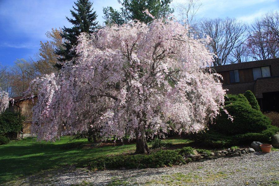 A Medium Sized Deciduous Tree Best Grown In Moist Fertile Well