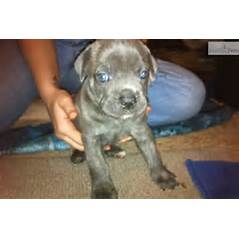 Cane Corso Mastiff puppy for sale near Dallas / Fort Worth