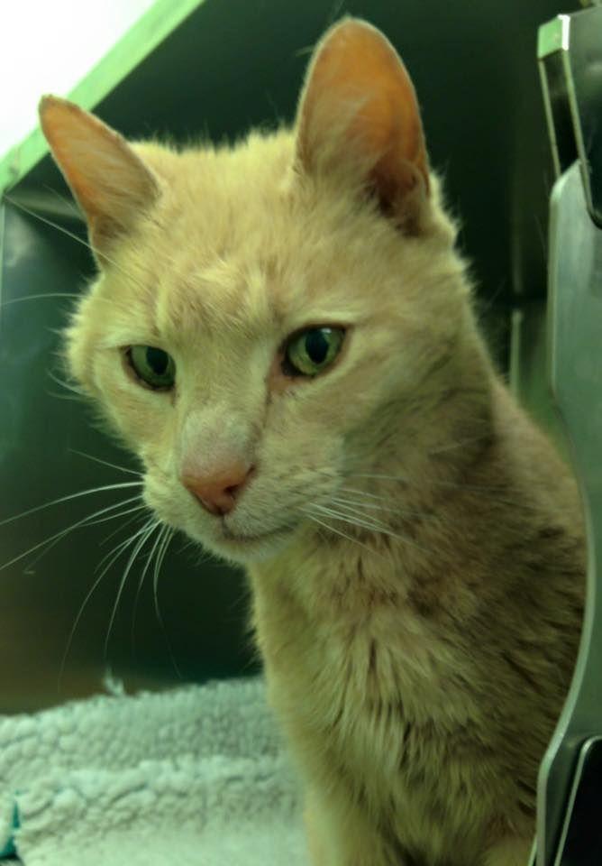 Ozzie O Gato Australiano Que Apareceu Na Irlanda Do Norte Animal Rescue Cats Found Cat Ginger Cat Names