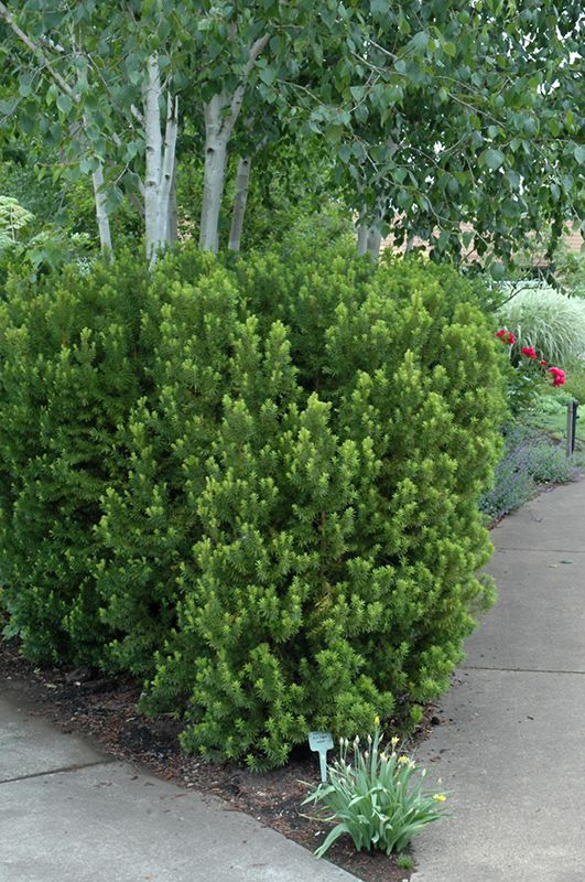Hicks yew taxus x media 39 hicksii 39 in naperville aurora for Garden yew trees