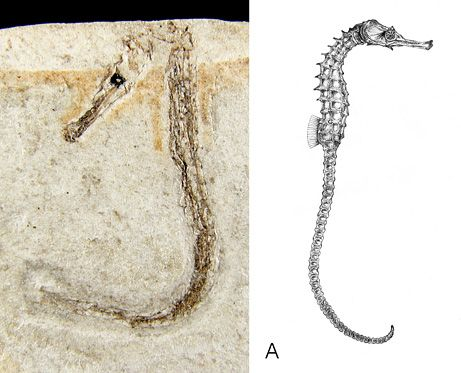 May 4, 2009--The oldest seahorse fossils discovered to date have been uncovered in Slovenia, including this two-inch-long (five-centimeter-long) adult female Hippocampus sarmaticus fossil (left, and in an artist's reconstruction, right). The 13-million-year-old finds, which include the only known extinct seahorse species, are shedding light on how the naturally weak swimmers managed to disperse around the world.