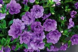 Обои Калибрахоа Крупным планом Фиолетовый Цветы