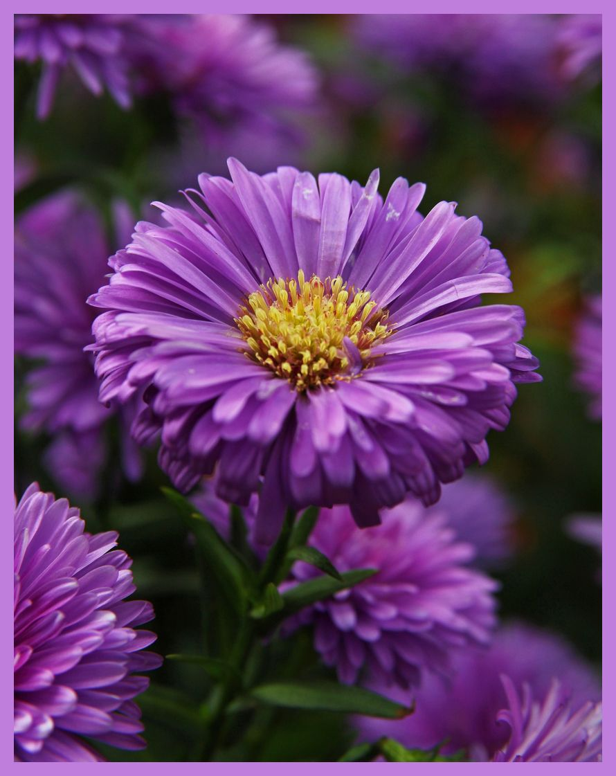 Pin By Teresa Moyer On Everything Purple Aster Flower Birth Flowers September Flowers