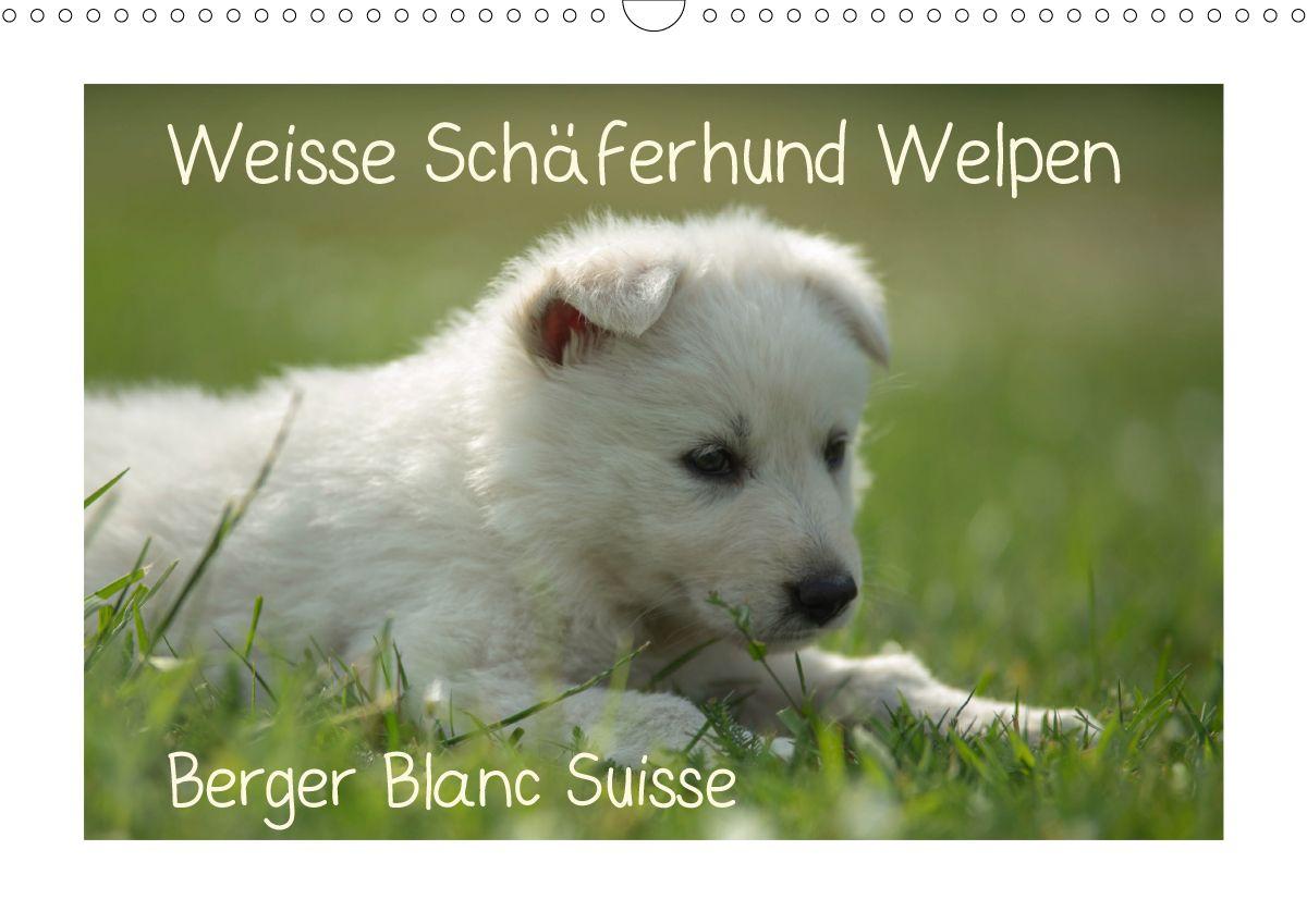 Weisse Schäferhund Welpen Berger Blanc Suisse CALVENDO