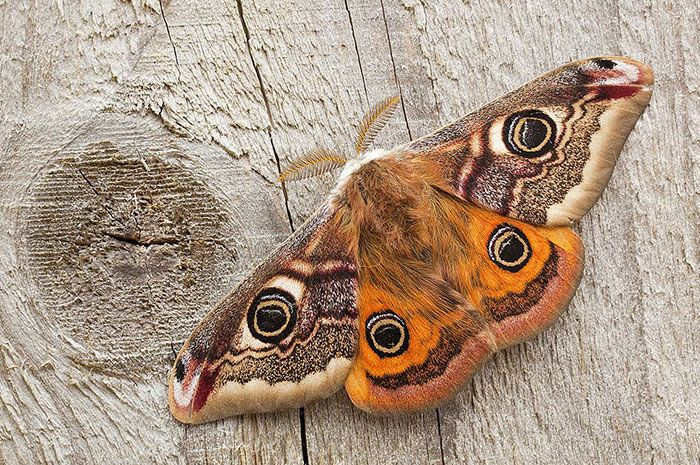 10 Moth Symbolism Facts & Meaning: A Totem, Spirit & Power ...