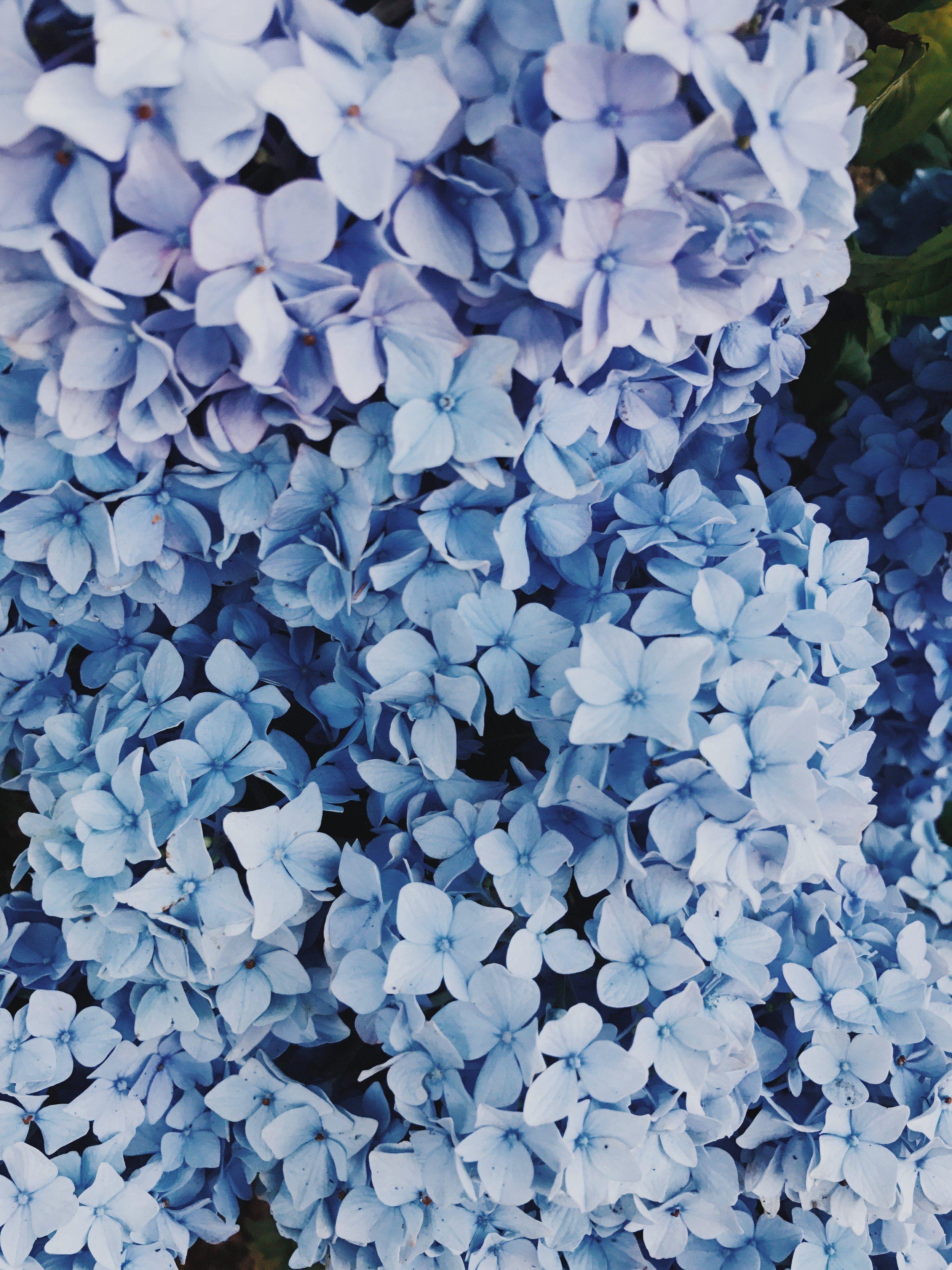 Hydrangeas Flower Lover Blue Aesthetic Pastel Blue Aesthetic