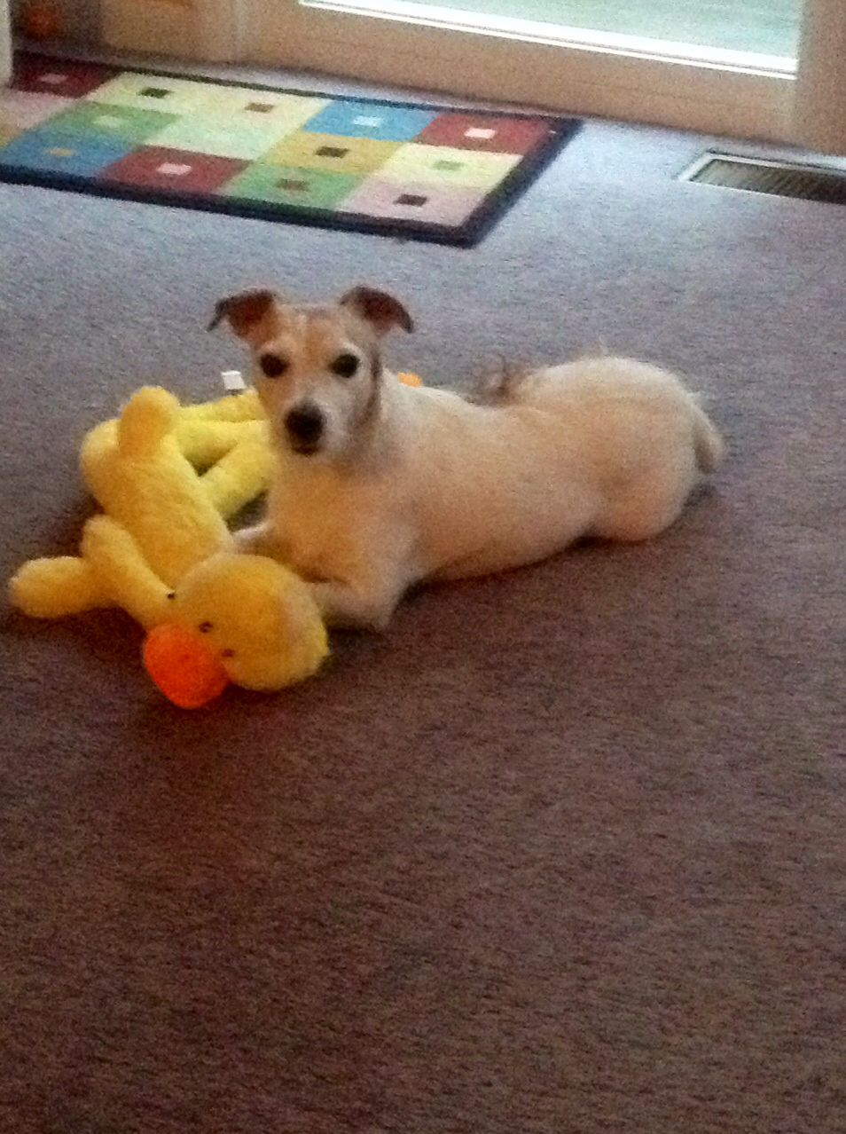 Pin by Diane Santee on Jack Russell (love my Jack) Jack